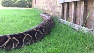 Massive Boa constrictor in HD