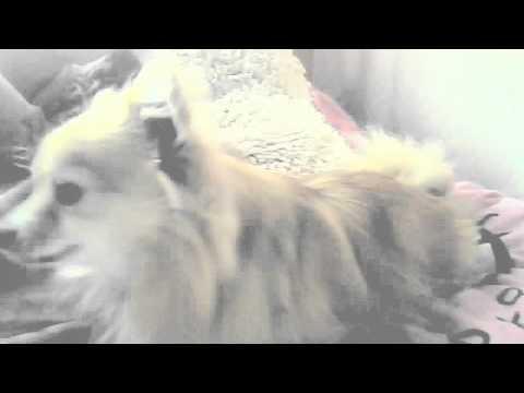 Xxx Mp4 Evilist Chihuahua Strikes Again Xxxxxxxxxx 3gp Sex
