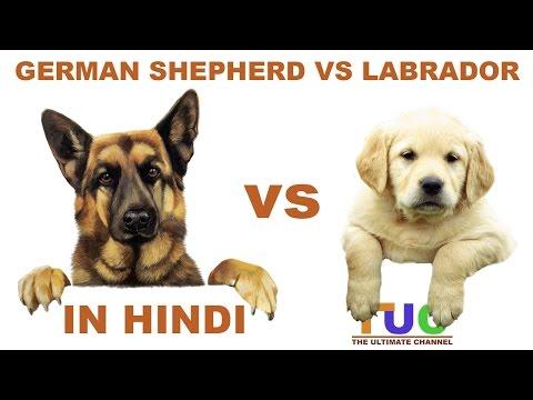 Xxx Mp4 German Shepherd VS Labrador In Hindi Dog Comparison The Ultimate Channel 3gp Sex