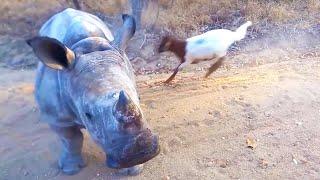 Rhino That Thinks It's A Goat