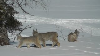 LYNX Cats in our backyard! Northern Ontario