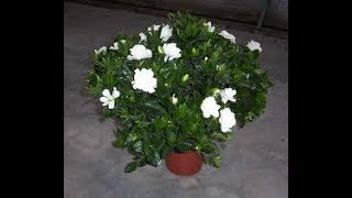 GARDENIA🌿 गंधराज के बारे मे जानकारी // কিভাবে বড় হয়ে যায় এবং যত্ন GANDHRAJ / Gardenia // EVERGREEN উদ্ভিদ।