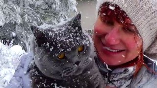 British cat shorthair Oophen , the best story EVER !!