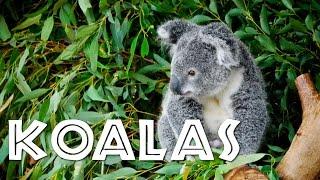 All About Koalas for Kids: Koalas for Children - FreeSchool