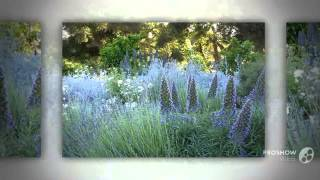 Echium - garden plants