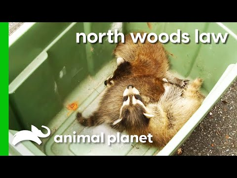 Mama Raccoon And Babies Rescued From Family s Shed North Woods Law