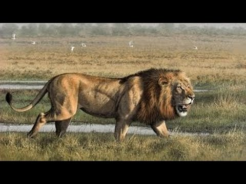Animals Documetary Lion s Most Dangerous Enemy Lion s Documentaries