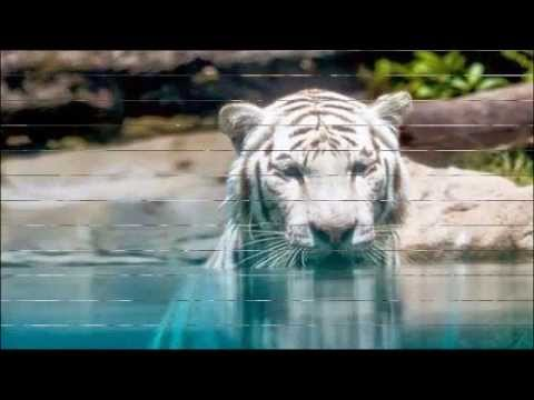 All kinds of Lovely Tiger Pictures - Please Save Our Tiger