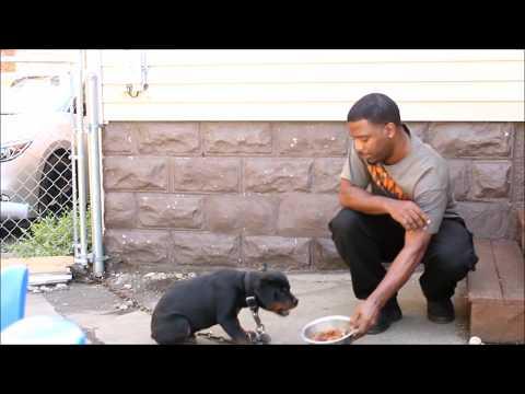 Xxx Mp4 Aggressive Rottweiler Puppy 3gp Sex