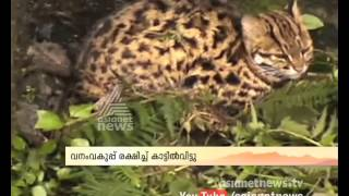 Wild Cat Found in Kanthalloor Idukki