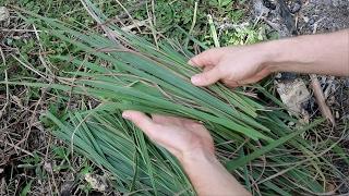 A CRAZY Use for Lemongrass!