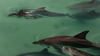 Dolphins Come Together to Greet Newborn   BBC Earth