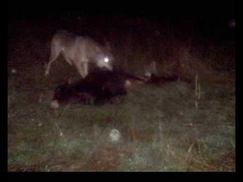 Napad vuka Wolf attack