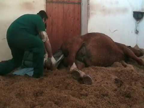 parto cavallo
