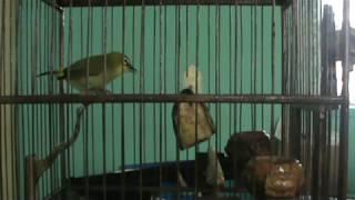Pleci Ngerol + Ngalas Mantap