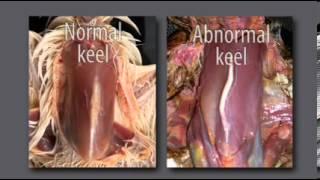 Avian neccropsy examination Ch 2  Opening the Bird 6 04)   Partners in Animal Health
