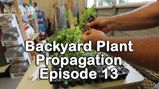 Backyard Plant Propagation Episode 13 (How to Root Camellias, Nandinas, Lilacs, and Youpon Holly)