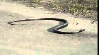 Вижте какво прави тази дрогирана змия!
