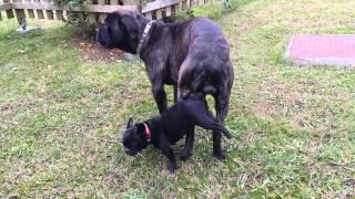 cane corso monta a perrita bulldog frances