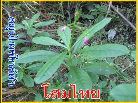 โสมไทย สมุนไพรบำรุงร่างกาย บำรุงกำลัง