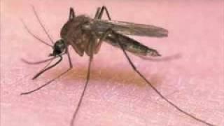 Piosenka o komarze bardzo zabawna [z przekleństwami]
