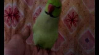 Parrot speaking Punjabi  by Usman Haider Arifwala