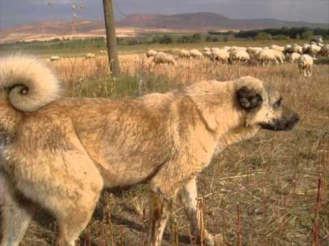 ali çınar heyle çoban davarı