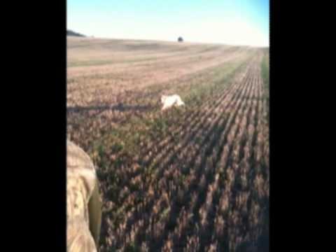 Chasse caille chien d arret 31 08 2010 V2