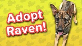 Adopt Raven! // Shepherd Mix // Adoptable Featurette