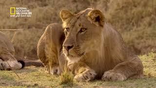 وثائقي حيوانات إفريقيا المفترسة   في منطقة الفهد HD