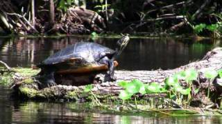 Turtles And Alligators Of The Silver River