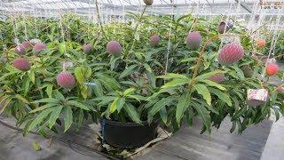 Mango Tree Bonsai - Most Amazing Fruits Farming Technique