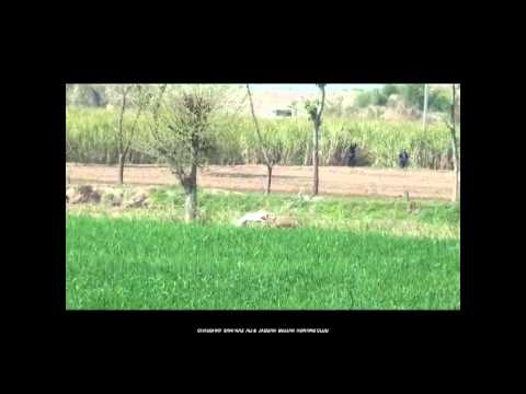 Pig Hunting Video in Pakistan Hog hunting boar hunting with Dogs.soor ka shikar haveli fight
