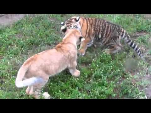 TIGER vs LION  Real Fight video