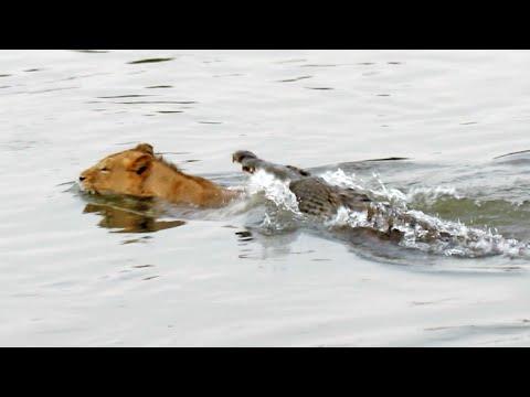 Crocodile Attacks a Male Lion Latest Wildlife Sightings
