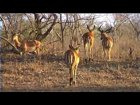 African Wildlife HD Part 1 South Africa Kruger Park 24 Travel Channel