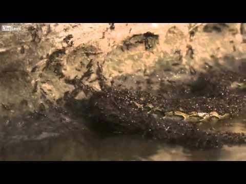 Já viu formigas comendo cobras