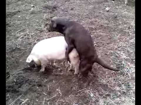 Dog and Pig get it on!