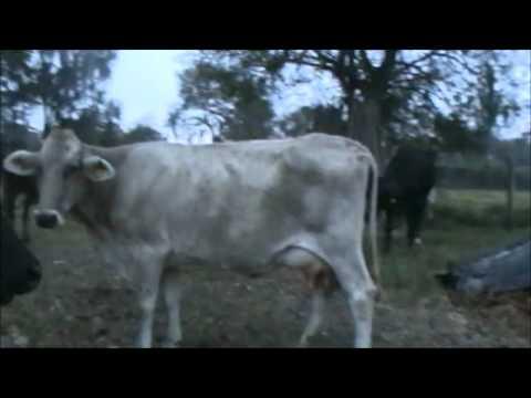 Vacas lecheras raza Suizo de doble propósito