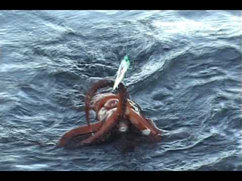Giant Humboldt Squid caught while fishing in Sekiu WA September 2009