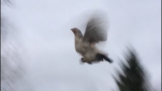 Chickens Flying Into Tree