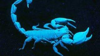Emperor Scorpion under a Black Light