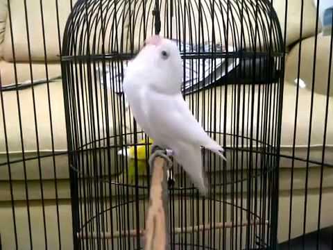 albino love birdlb ngekek panjang