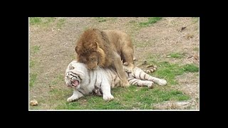 Singa VS Harimau, kuat manakah??
