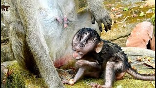 lovely baby monkey Lori need more clean but mom not take care well, baby hungry milk but can't