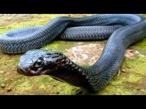 Xxx Mp4 King Cobra The Most Dangerous Snake In The World See This Vidio 3gp Sex