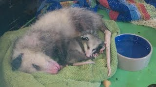 Opossum Mom Sneaks Into A Rescue With All Her Babies. When You Learn Why? Tears