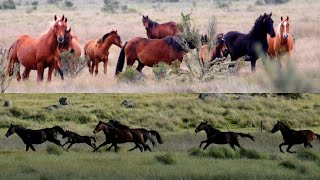 AUSTRALIA PLANS TO CULL OVER 5000 HORSES
