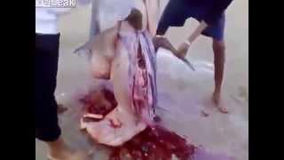 صيادون سعوديون يعثرون على خروف داخل بطن قرش !!