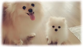 Our tiny white micro / teacup pomeranian puppy